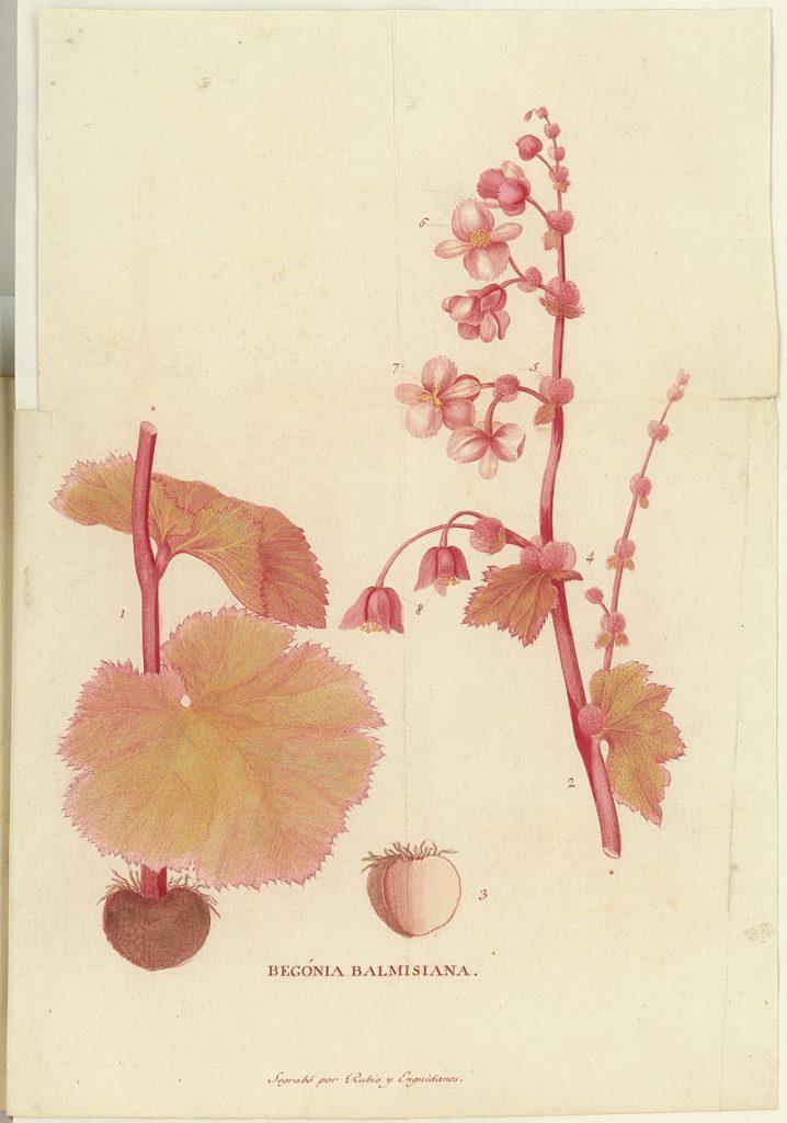 Begonia balmisiana