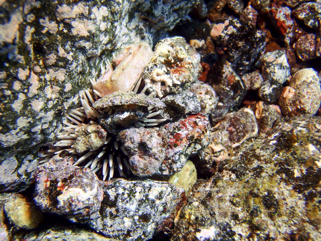 Sphaerechinus granularis sea urchins
